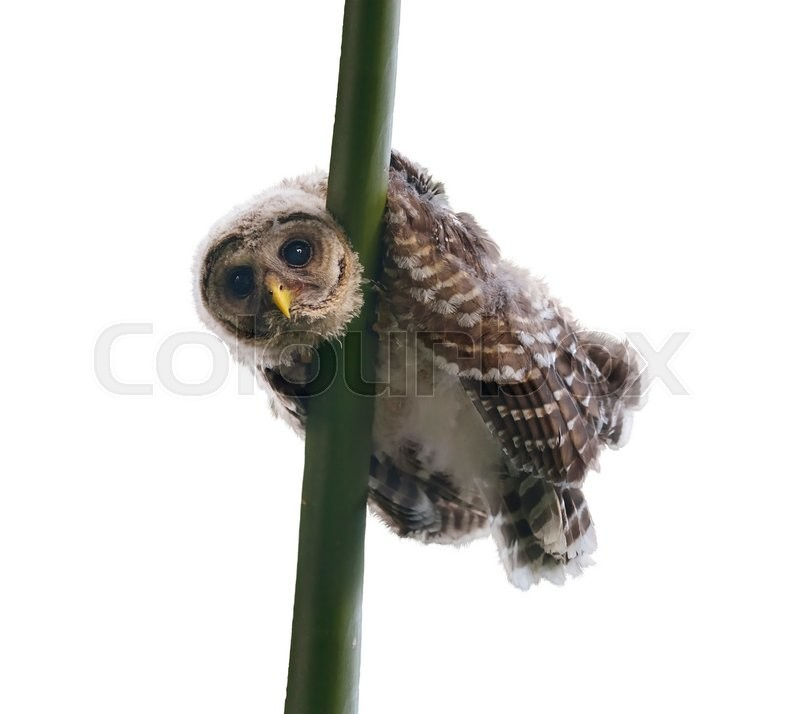 Stock image of 'Barred Owlet Perches on a Branch, isolated on white background'