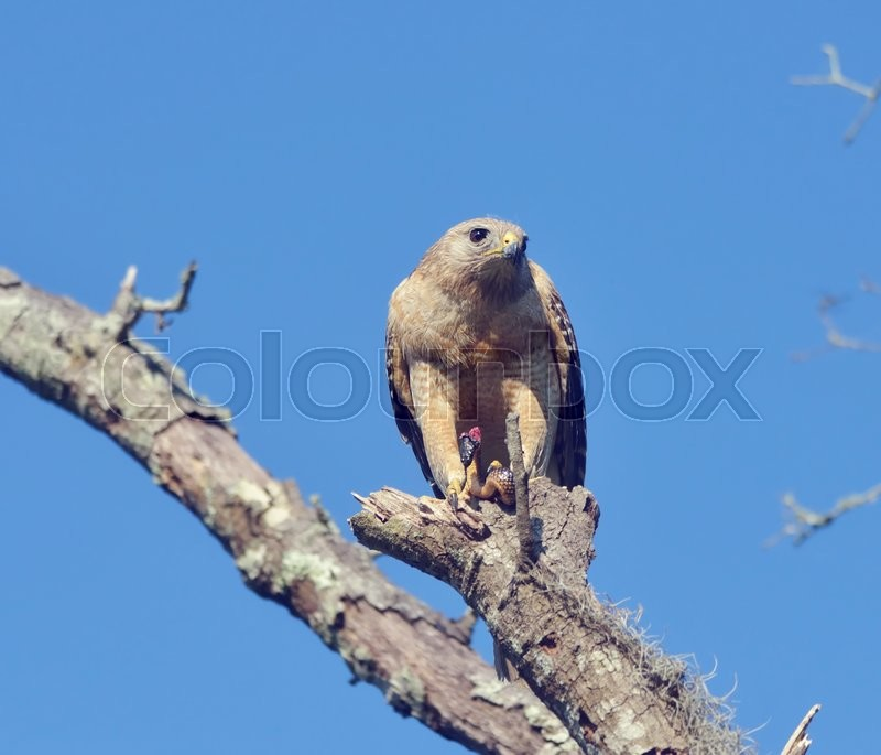 Stock image of ' Red  Shouldered Hawk Feeding on Snake'