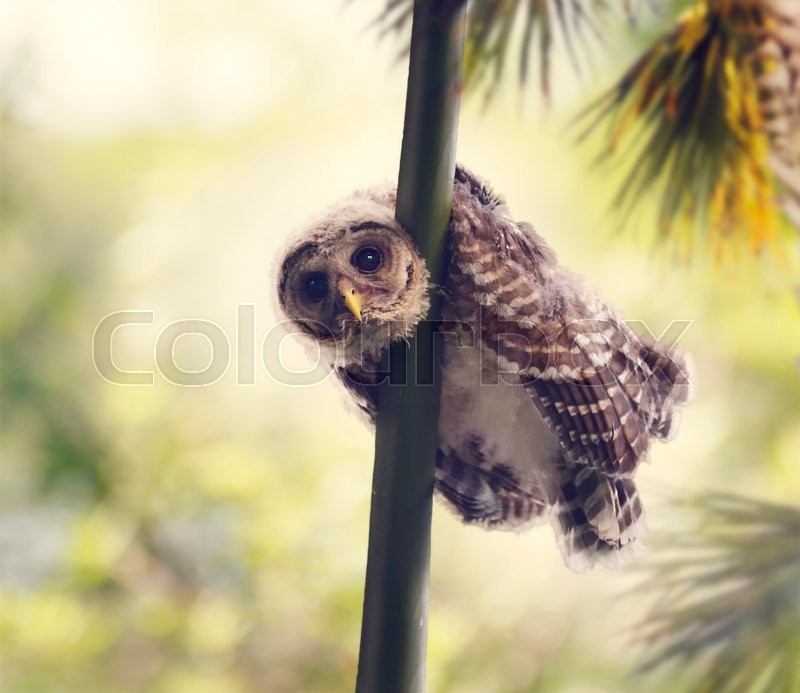 Stock image of 'Barred Owlet Perches on a Branch'