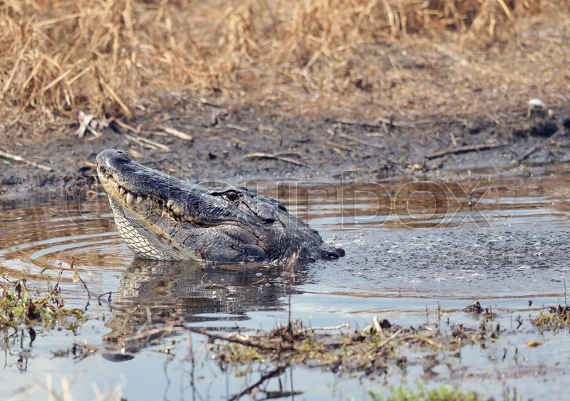 Stock image of 'Large Bull Male Alligator Calls for a Mate'