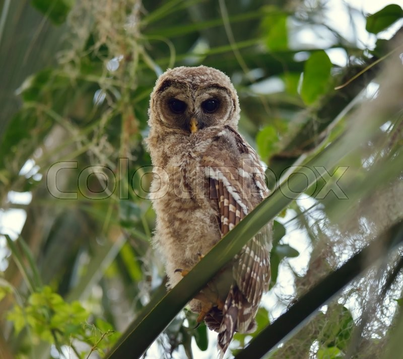 Stock image of ' Barred Owlet Perches on a Branch'