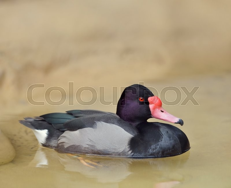 Stock image of 'Rosy-billed Pochard Duck ,Close Up '