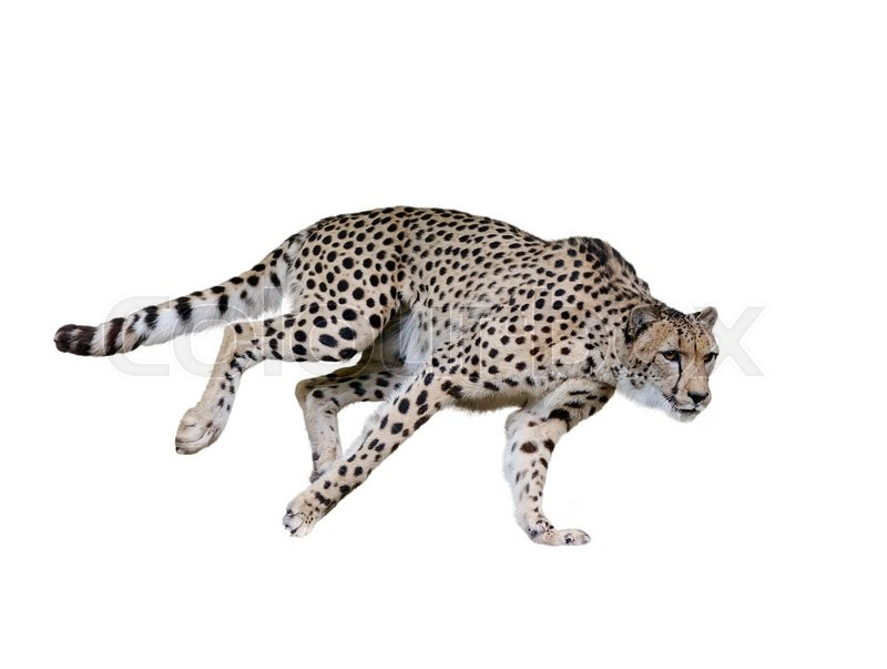Stock image of 'Cheetah  Running ,Isolated on white Background'