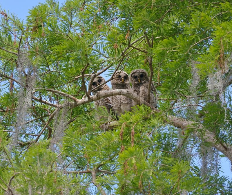 Stock image of 'Three Barred Owlets Perching on a Branch'