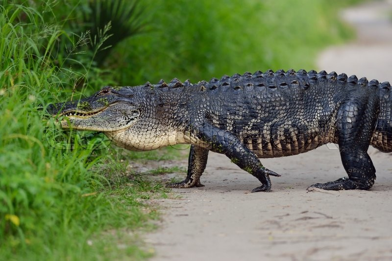 Stock image of 'Large Florida Alligator on a Trail'