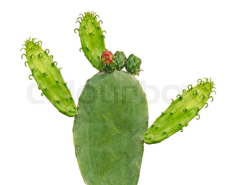 Stock image of ' cactus isolated on white background'
