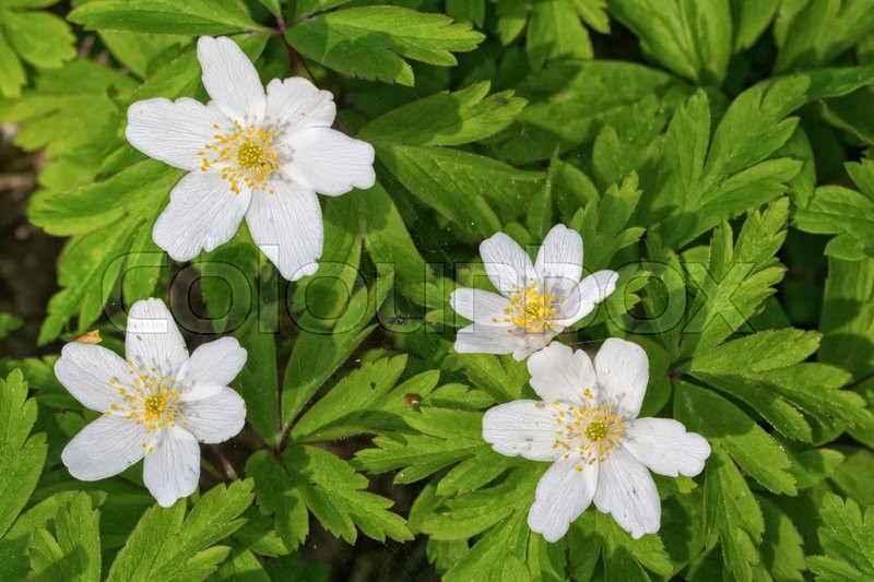 Stock image of 'Group of white flowers with green leaf background'