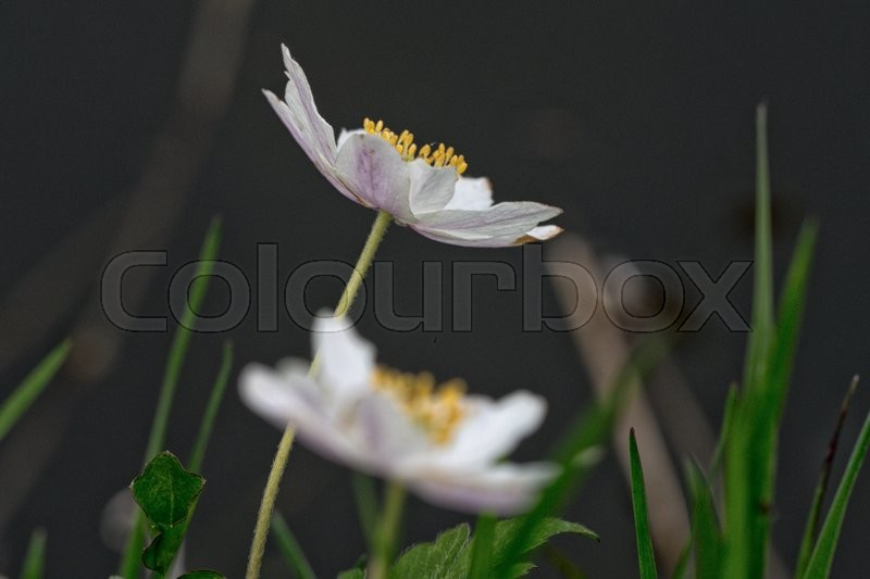 Stock image of 'Nice white flower with blurred dark background'