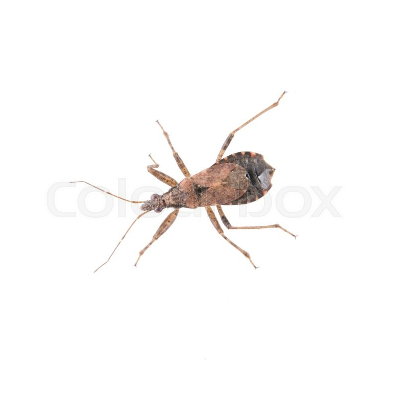 Stock image of 'Brown kissing bug isolated on a white background'