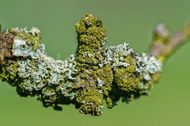 Stock image of 'Detail of lichen on a twig of the tree with a blurred background'