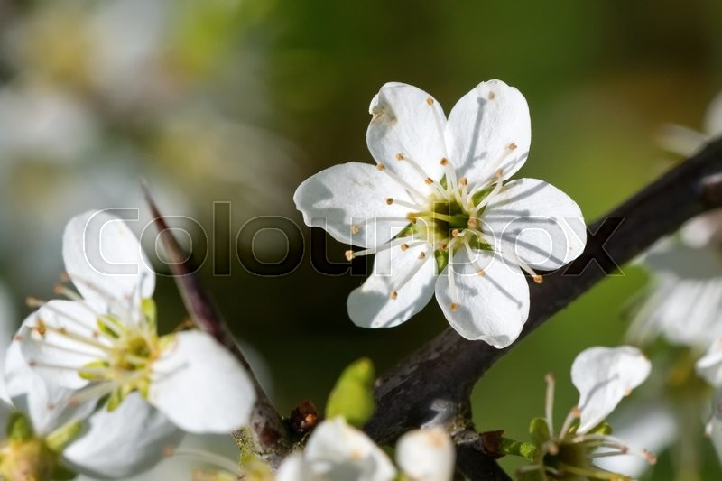 Stock image of 'Flowers of the tree branch plum blossoms with blue background'
