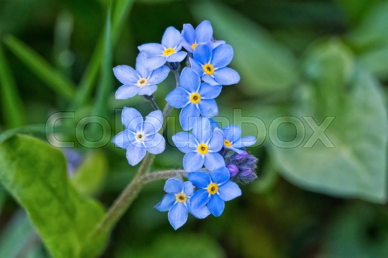 Stock image of 'Macro of blue flowers with nice blurred background'