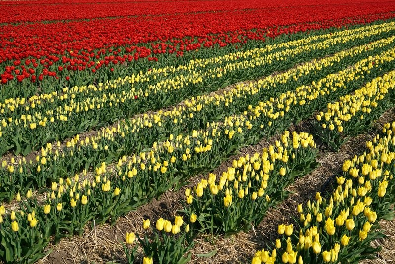 Stock image of 'tulips in a field in spring'