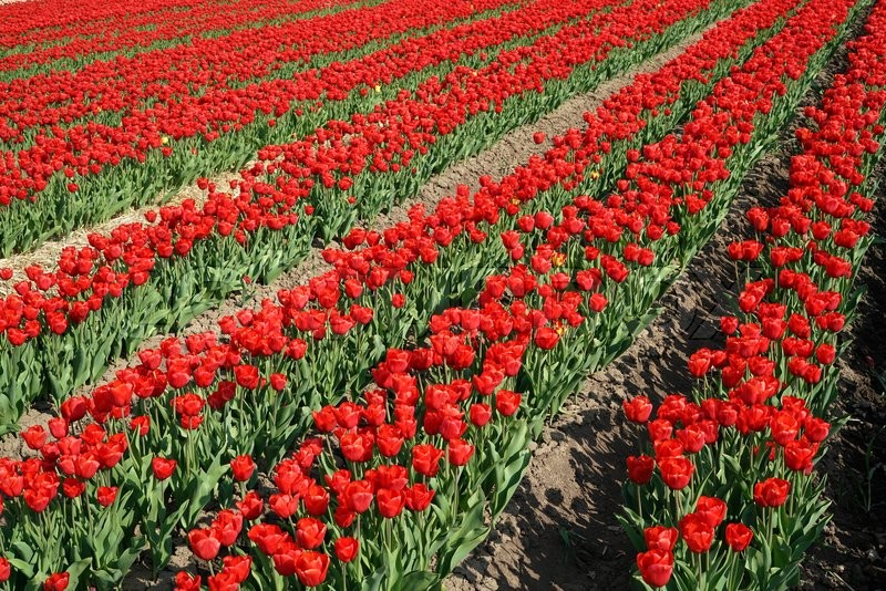 Stock image of 'red tulips in a field in spring'