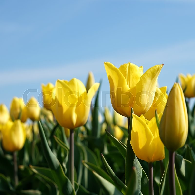 Stock image of 'yellow tulips in a field in spring'