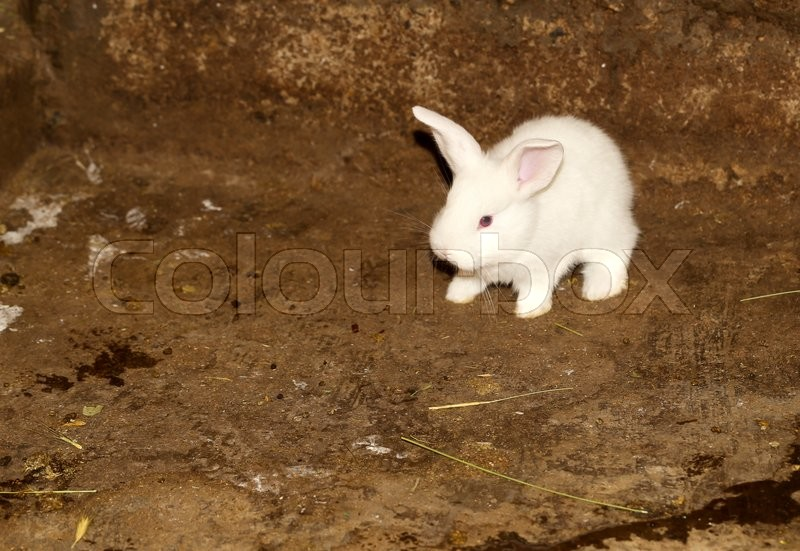 Stock image of 'Little white rabbit on the farm'