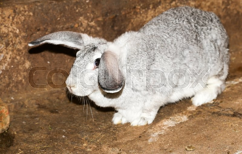 Stock image of 'Beautiful rabbit on the farm'