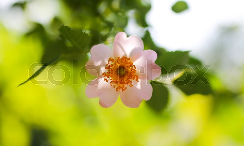 Stock image of 'Beautiful flowers on the bush outdoors'