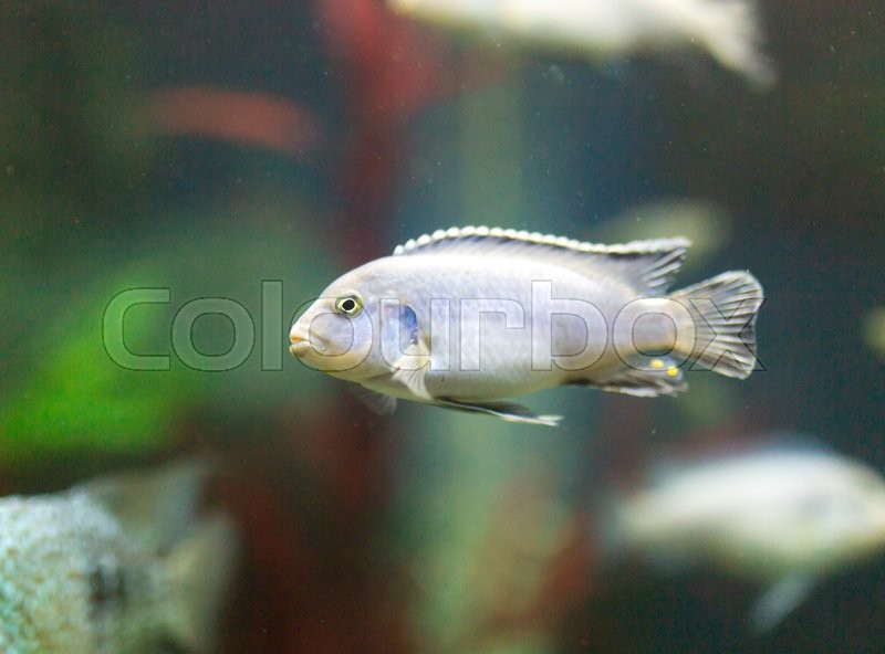 Stock image of 'Beautiful fish in the aquarium'