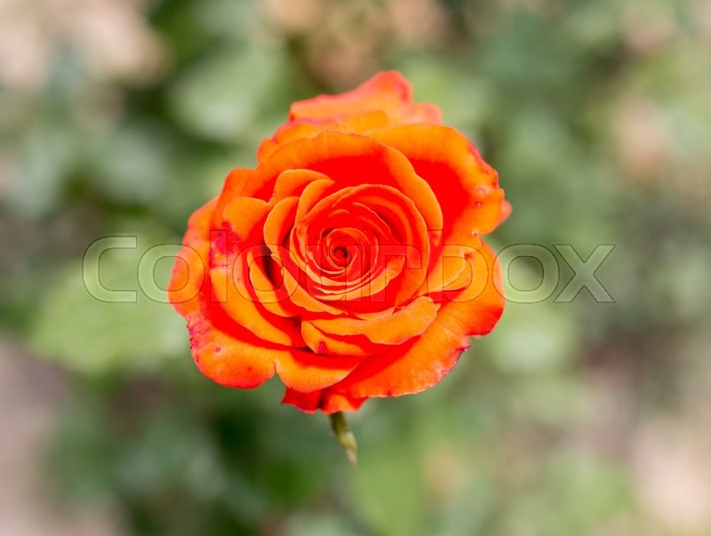 Stock image of 'Beautiful red rose in nature'