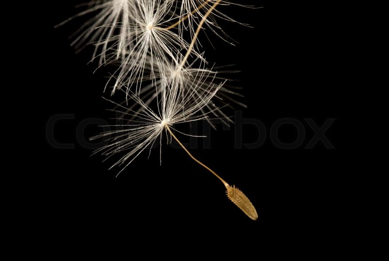 Stock image of 'Dandelion fluff on a black background. macro'
