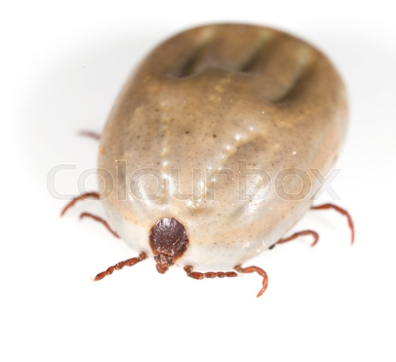 Stock image of 'Beetle mite on a white background'