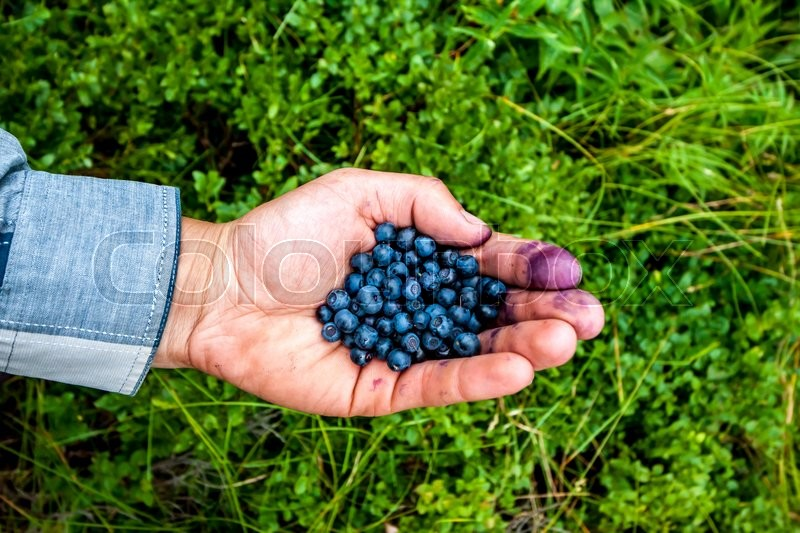 Stock image of 'handful of fresh huckleberries collected in Carpathian mountains'