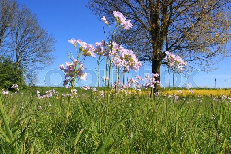 Stock image of 'At the foreground blooming cuckoo flowers and at the background blooming coleseed in the landscape at the countryside in the wonderful spring.'