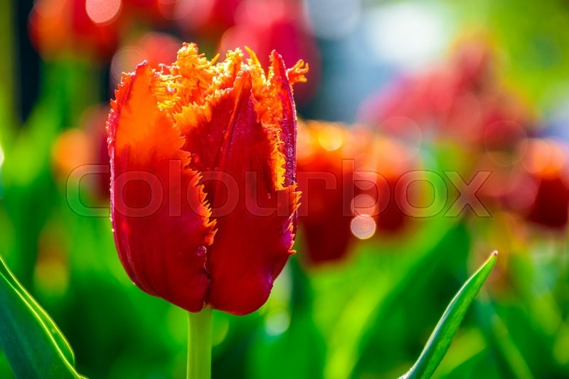 Stock image of 'red tulip on blurred background of green garden bokeh'