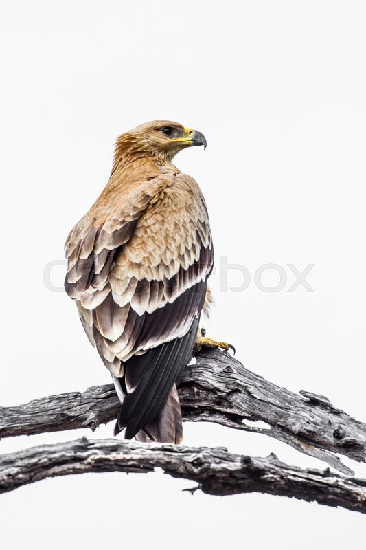 Stock image of 'Tawny Eagle in Kruger National park, South Africa'