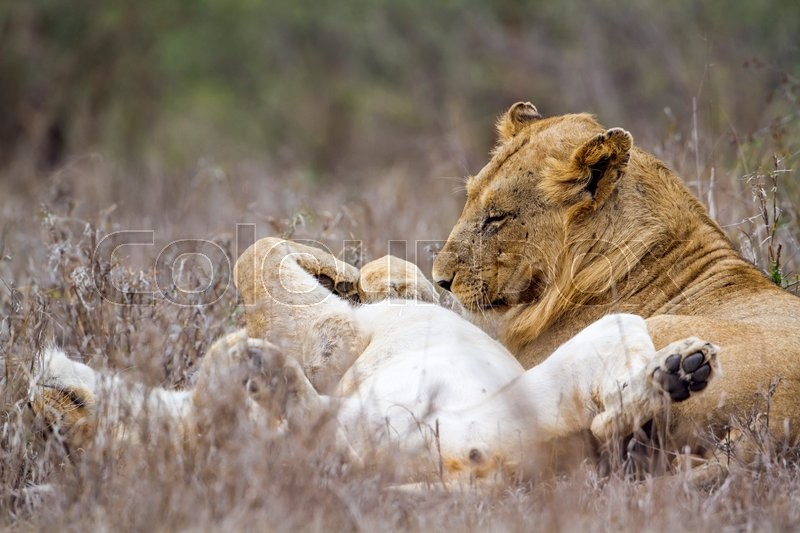 Stock image of 'African lion in Kruger National park, South Africa'
