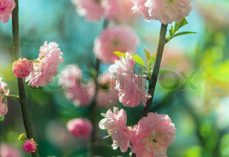 Stock image of 'Almond tree pink flowers'