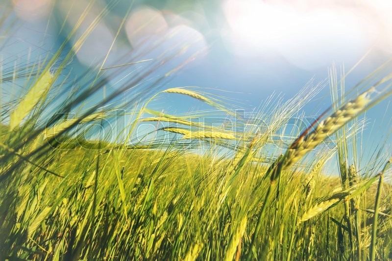 Stock image of 'Wheat field, close up shot'