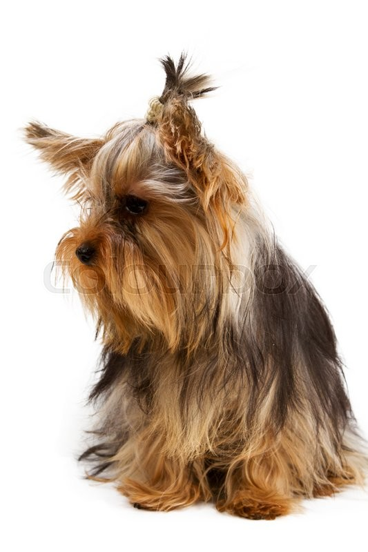 Stock image of 'Yorkshire terrier looking at the camera in a head shot, against a white background'