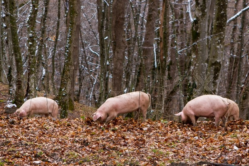 Stock image of 'Pig in a mountain forest  pigs in snow forest near farm'
