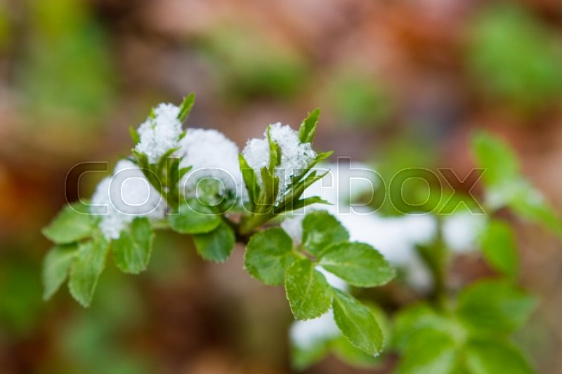 Stock image of 'Snow fell unexpectedly, lying on the leaves of parsley in the garden. Shallow depth of field. Selective focus'