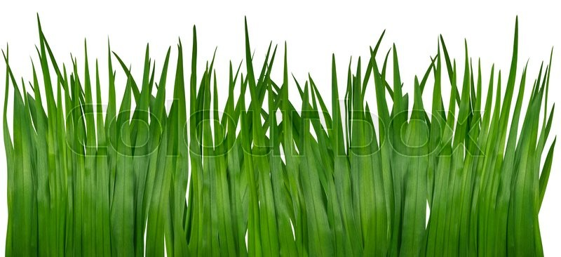 Stock image of 'Blade of grass isolated on white background.'