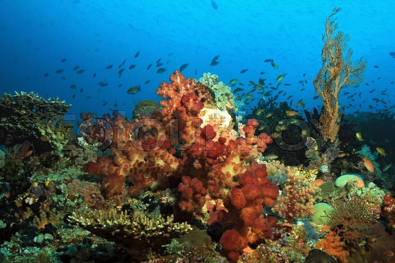 Stock image of 'Colorful Coral Reef against Blue Water. Dampier Strait, Raja Ampat, Indonesia'