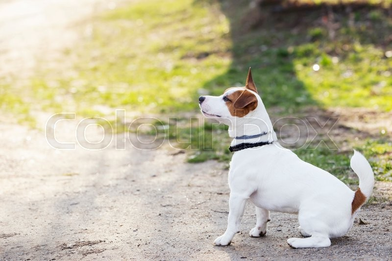Stock image of 'Jack Russell terrier dog is sitting on a ground'