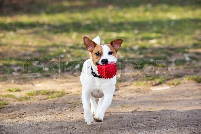 Stock image of 'Jack Russell terrier dog is running with a ball in his mouth'