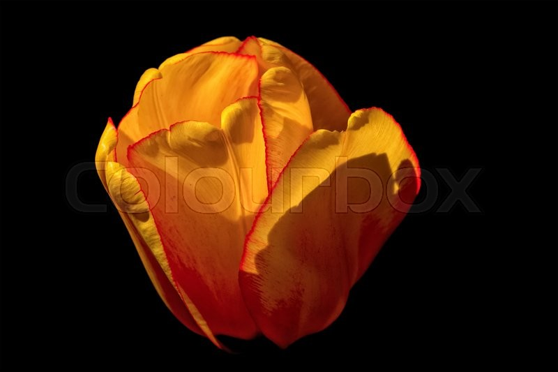 Stock image of 'Yellow tulip isolated on a black background'