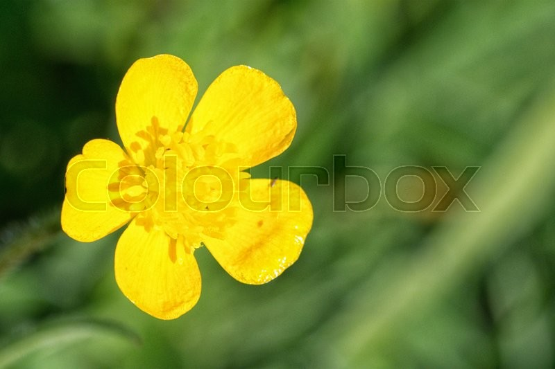 Stock image of 'Nice blooming yellow lower on the blurred green background'