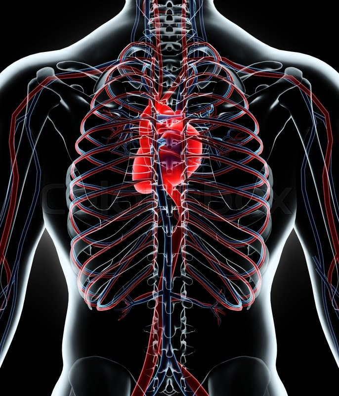 Stock image of '3D illustration of Human Internal System - Circulatory System.'