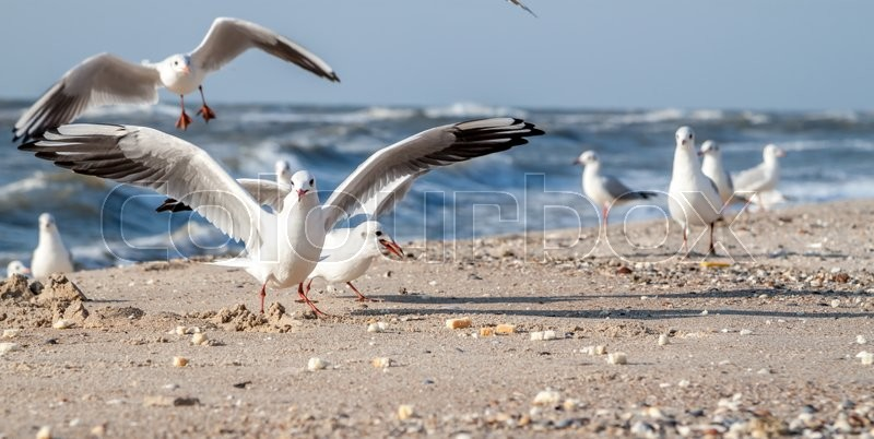 Stock image of 'sea gulls eating bread on the sea side'