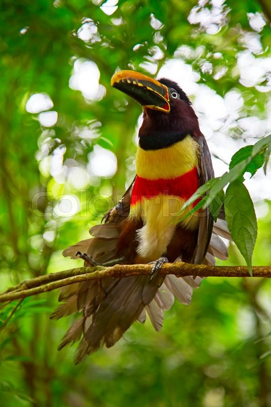 Stock image of 'Colorful tucan in the wild'