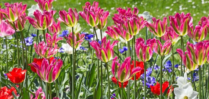 Stock image of 'Fresh blooming tulips in the spring garden'