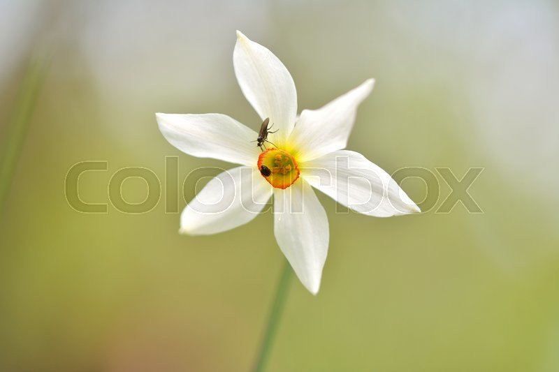Stock image of 'Narcissus flowers'