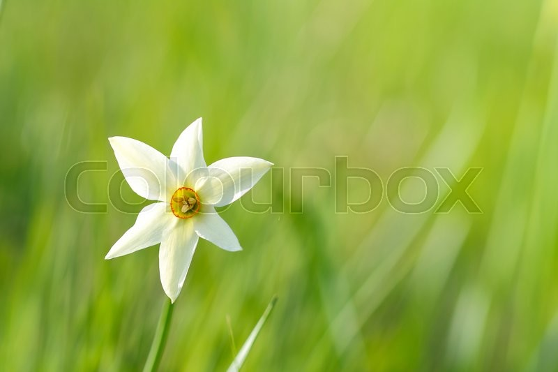 Stock image of 'Blooming narcissus'