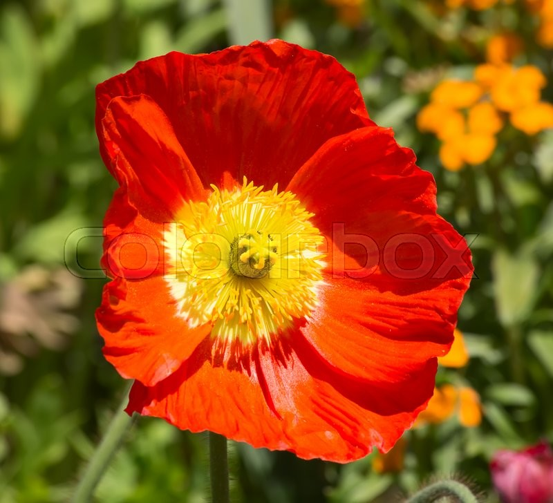 Stock image of 'Red poppie on the field'