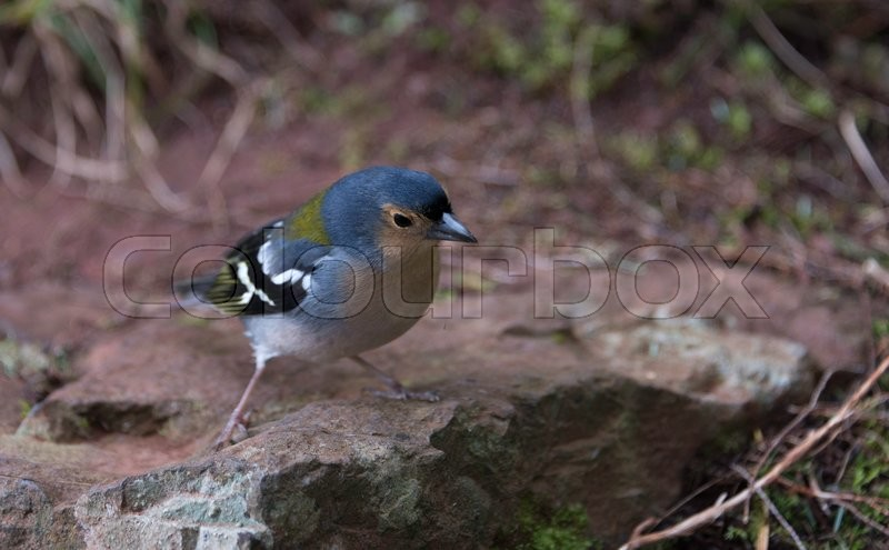 Stock image of 'Madeiran chaffinch bird on portuguese island of madeira'